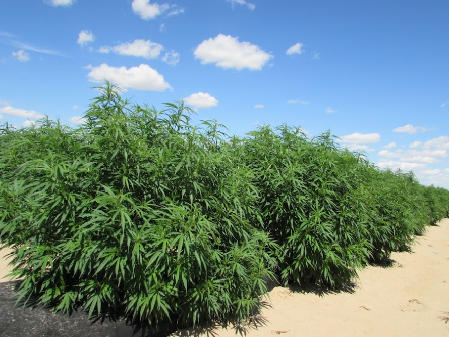 Beautiful hemp being grown for the all-natural CBD oil products from That's Natural!