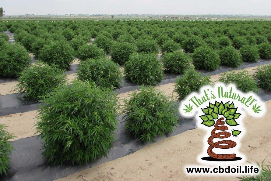 Thats Natural CBD Oil