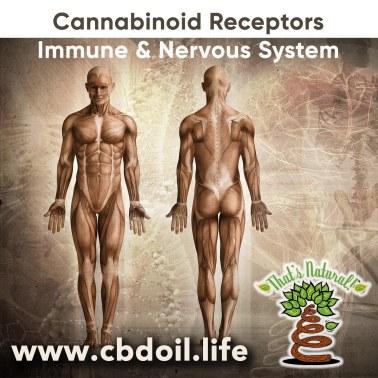 cannabinoid-receptors-nervous-immune-system-v1