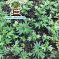 Boulder County Hemp Farm, Hemp Plants from a Distance RGB with TN Logo