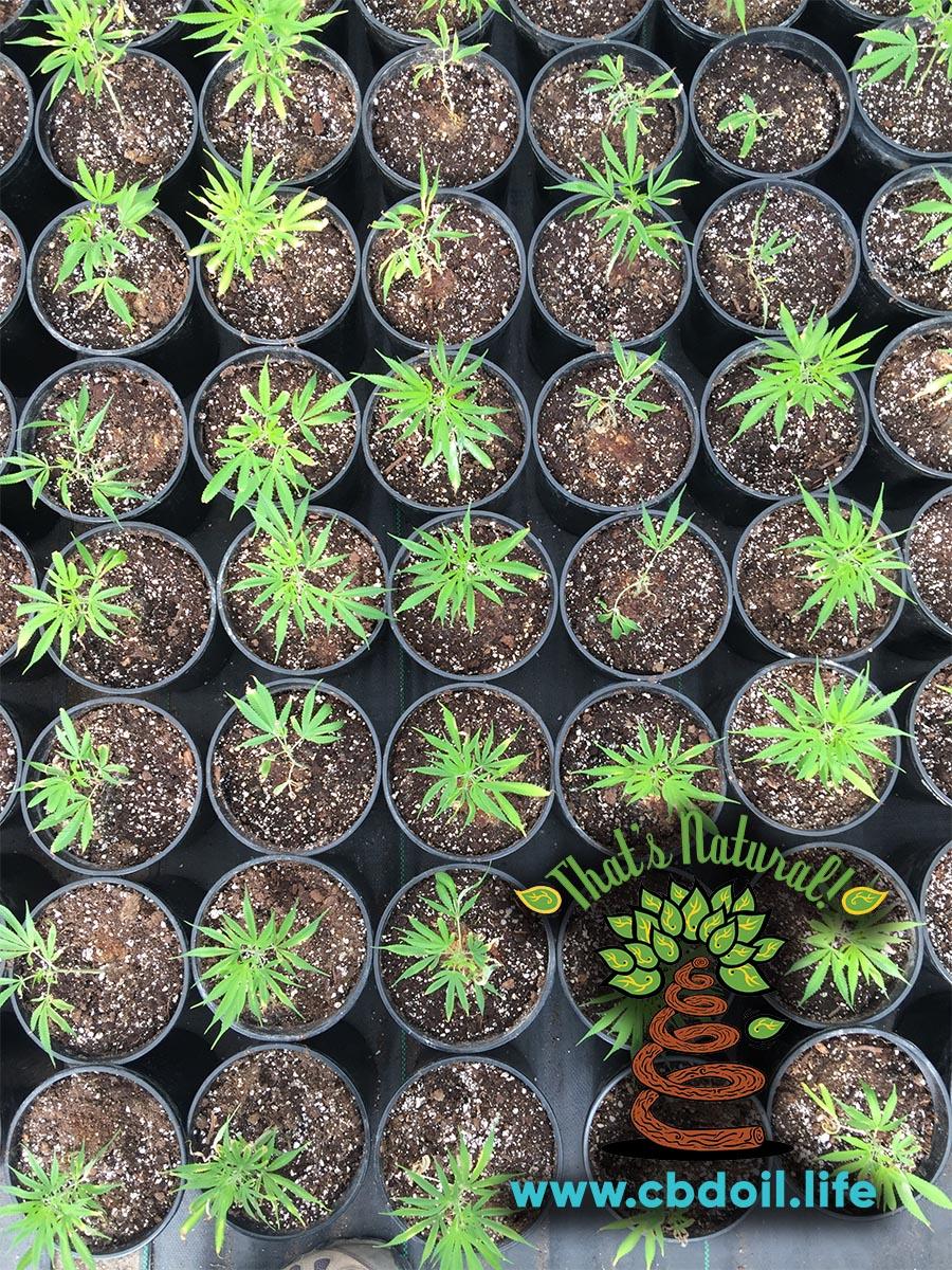 San Luis Valley Farm - Baby Clone Hemp Plants, RGB