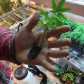 San Luis Valley Farm – Baby Hemp Plants with That's Natural Logo, RGB