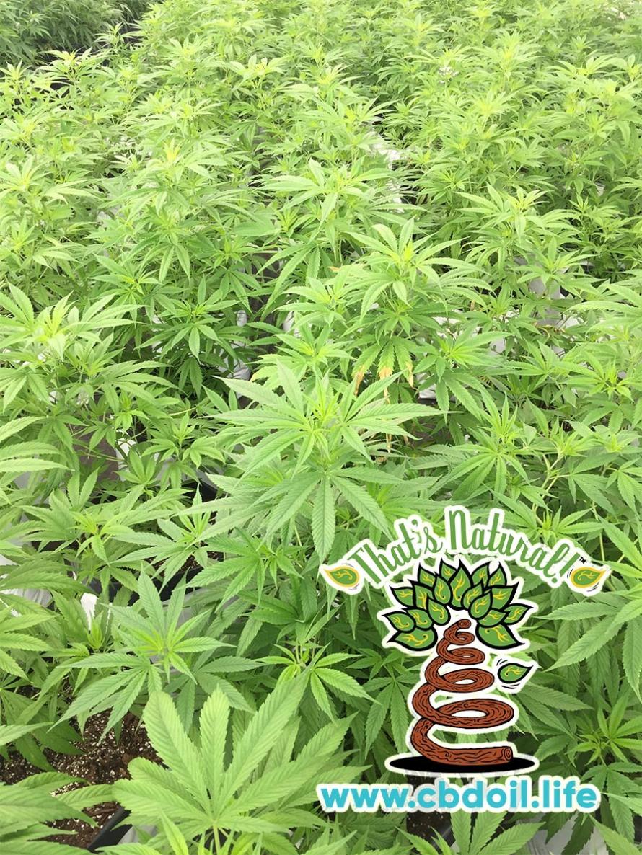 San Luis Valley Farm - Mother Plants Up Close, RGB