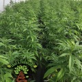 San Luis Valley Farm – Mother Plants with That's Natural Logo, RGB